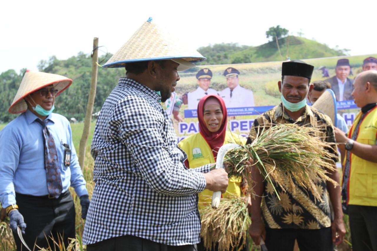 Wakil Walikota Lhokseumawe saat melakukan panen perdana padi hoston